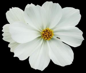 flower_ant