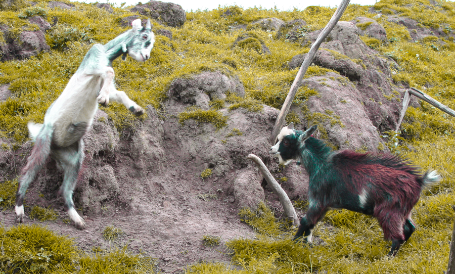 fighting_goats